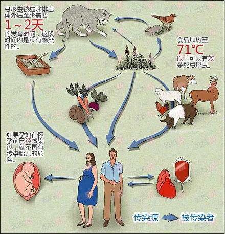 电热毯对孕妇的危害_【弓形虫】弓形虫对孕妇有什么危害? - 优生备孕帮 - 妈妈帮