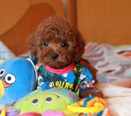 泰迪饲养必知 治疗泰迪犬瘟热的方法