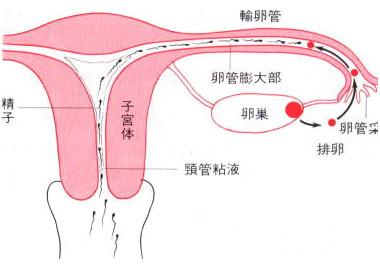 输卵管受精示意图